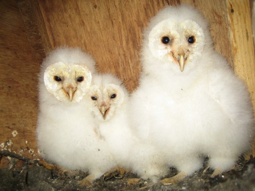 Shropshire Barn Owl Group